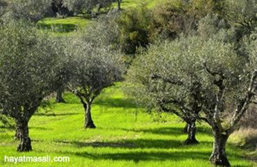 zeytin ağacları