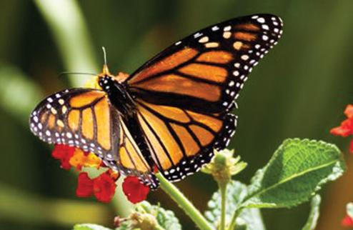 Bir kelebeğin ömrü