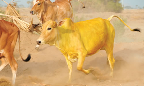 Sarı İnek