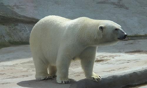 Kutup Ayısı ile Karşılaşmak