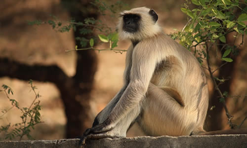 maymun-hikayesi